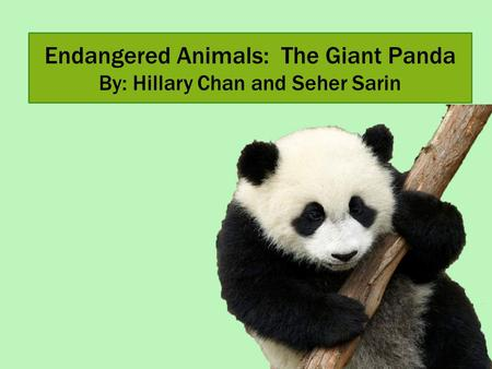Endangered Animals: The Giant Panda By: Hillary Chan and Seher Sarin.