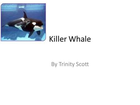 Killer Whale By Trinity Scott. The animal I am researching is a Killer Whale.