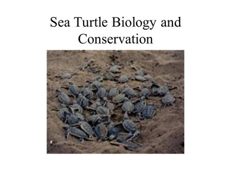 Sea Turtle Biology and Conservation. Sea Turtles in Mythology Turtles have long been revered in myths. Most Indian tribes see turtles as being sacred.