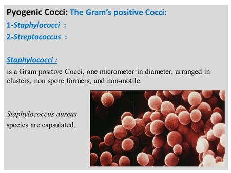 N Pyogenic Cocci: The Gram's positive Cocci: 1-Staphylococci : 2-Streptococcus : Staphylococci : is a Gram positive Cocci, one micrometer in diameter,