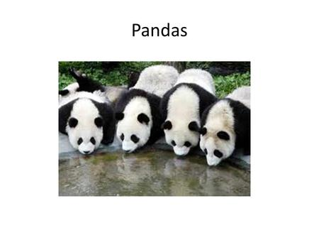 Pandas. Panda habitat/what hunts them coniferous forests Humans hunt panda bears.