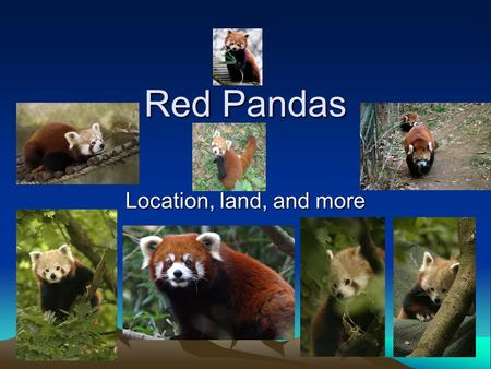 Red Pandas Location, land, and more Red Panda The red panda is 2 feet long with an 18 inch tail. It is slightly larger than a house cat. It has rust-colored.