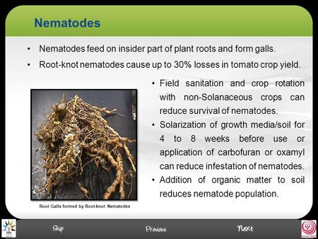 Nematodes Nematodes feed on insider part of plant roots and form galls. Root-knot nematodes cause up to 30% losses in tomato crop yield. Root Galls formed.