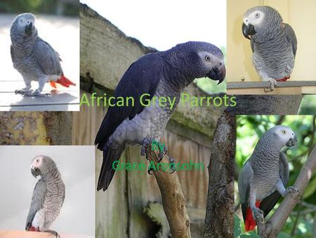 African Grey Parrots By Grace Aronsohn. Meet the African Grey Parrot Name: African Grey Parrot Species: Psittacaeda Lifespan: 50-70 years Is not endangered.