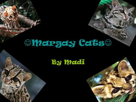 Margay Cats By Madi.