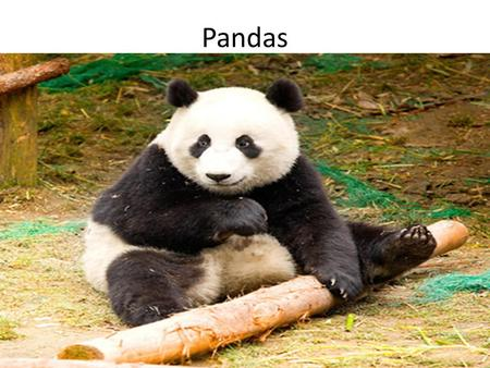 Pandas THE PANDA BEAR. Habitat The panda bears natural habitat can be found in select parts of china. They tend to be safer then most other animals due.