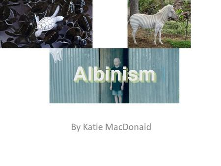 Albinism By Katie MacDonald. Albino what? Albinism is an inherited disease. It is a recessive trait and effects the gene called melanin. Melanin is the.