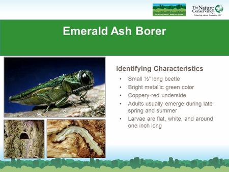 "Emerald Ash Borer Commonly abbreviated EAB Small ½"" long beetle Bright metallic green color Coppery-red underside Adults usually emerge during late spring."