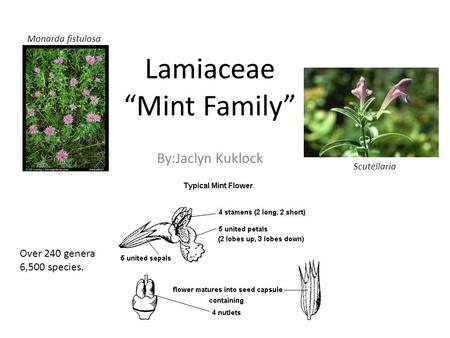 "Lamiaceae ""Mint Family"" By:Jaclyn Kuklock Monarda fistulosa Scutellaria Over 240 genera 6,500 species."