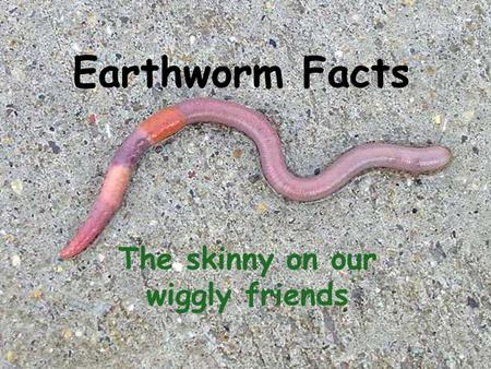 Earthworm Facts The skinny on our wiggly friends.