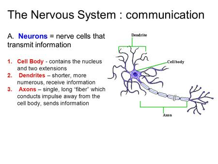 The Nervous System : communication A. Neurons = nerve cells that transmit information 1. Cell Body - contains the nucleus and two extensions 2. Dendrites.