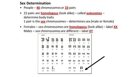 Sex Determination People – 46 chromosomes or 23 pairs 22 pairs are homologous (look alike) – called autosomes – determine body traits 1 pair is the sex.