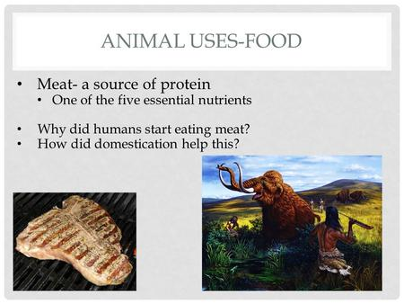 ANIMAL USES-FOOD Meat- a source of protein One of the five essential nutrients Why did humans start eating meat? How did domestication help this?