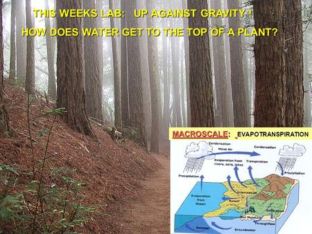 MACROSCALE: MACROSCALE: EVAPOTRANSPIRATION THIS WEEKS LAB: UP AGAINST GRAVITY ! THIS WEEKS LAB: UP AGAINST GRAVITY ! HOW DOES WATER GET TO THE TOP OF A.