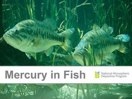 Mercury in Fish. Where Does Mercury Come From? Natural Sources: Soils and rocks Wildfires Man-Made Sources: Burning coal and medical waste Manufacturing.
