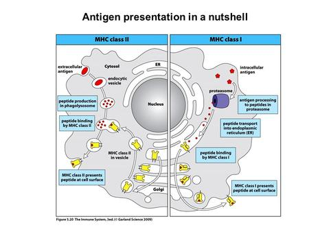 Antigen presentation in a nutshell. ANTIGEN-SPECIFIC T – CELL ACTIVATION PARTNERS Antigen presenting cell carrying antigenic peptides bound to MHC – pre-formed.