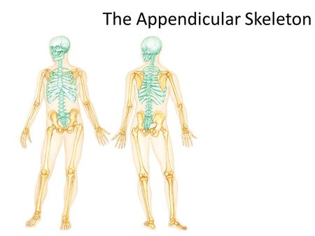 The Appendicular Skeleton. THE SKELETAL SYSTEM The Appendicular Skeleton 2 pairs of limbs and 2 girdles Pectoral (shoulder) girdle attaches upper limbs.