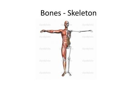 Bones - Skeleton. Early Life During development of the embryo, the human skeleton is made up of cartilage and fibrous membranes, but most of these early.