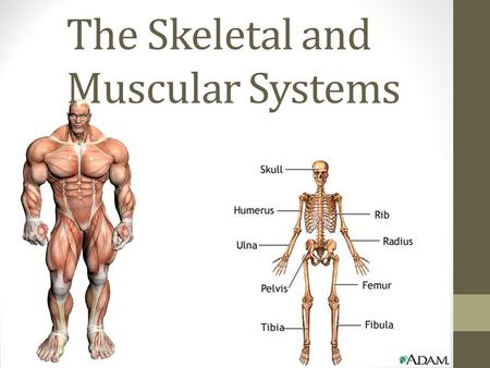 The Skeletal and Muscular Systems. The Skeletal and Muscular System By working together, your muscular and skeletal systems allow you to do many things.