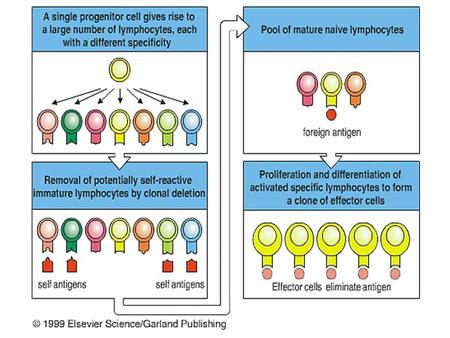 Antigen-Independent B-Cell Development 1.DNA rearrangements establish the primary repertoire, creating diversity 2. Allelic exclusion ensures that each.