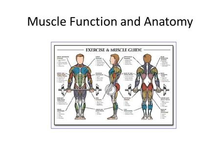 Muscle Function and Anatomy. 2 Characteristics of Muscles  Muscle cells are elongated (muscle cell = muscle fiber)  Contraction of muscles is due to.