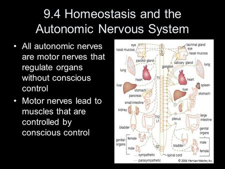 9.4 Homeostasis and the Autonomic Nervous System All autonomic nerves are motor nerves that regulate organs without conscious control Motor nerves lead.
