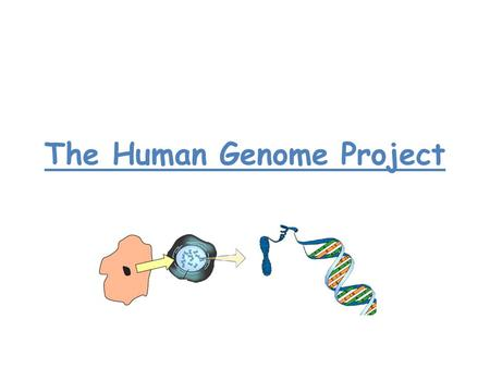 The Human Genome Project. HGP The Idea was to map the 25000 Human genes! Thousands of scientists from all over the world work together. The big idea was.