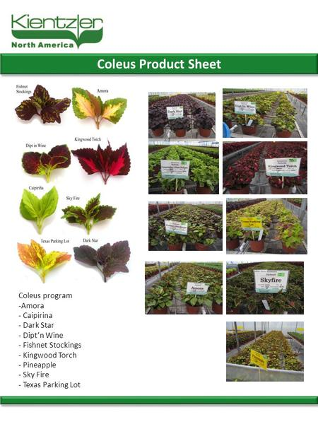 Coleus Product Sheet Coleus program -Amora - Caipirina - Dark Star - Dipt'n Wine - Fishnet Stockings - Kingwood Torch - Pineapple - Sky Fire - Texas Parking.