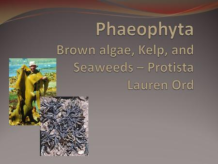 Phaeophyta Brown algae, Kelp, and Seaweeds – Protista Lauren Ord