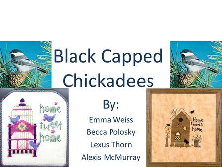 Black Capped Chickadees By: Emma Weiss Becca Polosky Lexus Thorn Alexis McMurray.