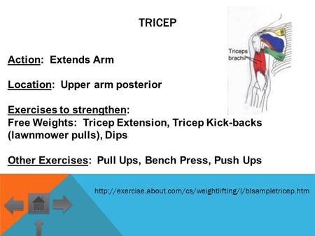 Tricep Action: Extends Arm Location: Upper arm posterior