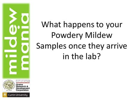 What happens to your Powdery Mildew Samples once they arrive in the lab?