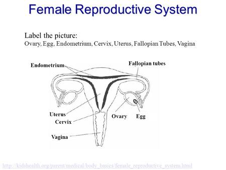 Female Reproductive System  Label the picture: Ovary, Egg, Endometrium,