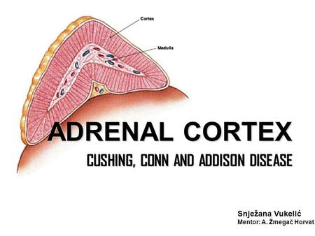 ADRENAL CORTEX CUSHING, CONN AND ADDISON DISEASE CUSHING, CONN AND ADDISON DISEASE Snježana Vukelić Mentor: A. Žmegač Horvat.