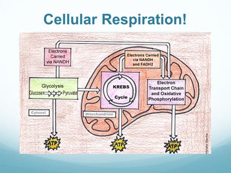 Cellular Respiration!. CA State Standard CELL BIOLOGY 1.g. Students know the role of the mitochondria in making stored chemical-bond energy available.