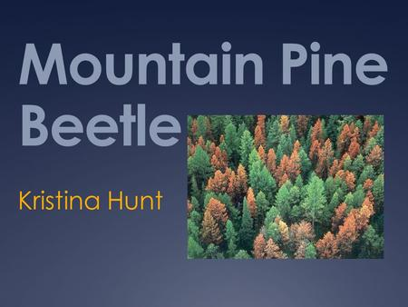 Mountain Pine Beetle Kristina Hunt. What is being done to stop the rapid spread of the Mountain Pine Beetle?