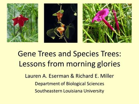 Gene Trees and Species Trees: Lessons from morning glories Lauren A. Eserman & Richard E. Miller Department of Biological Sciences Southeastern Louisiana.