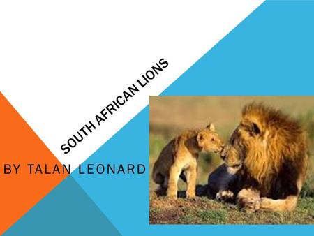 SOUTH AFRICAN LIONS BY TALAN LEONARD. Hi my name is Talan and my animal is a South African. INTRODUCTION.