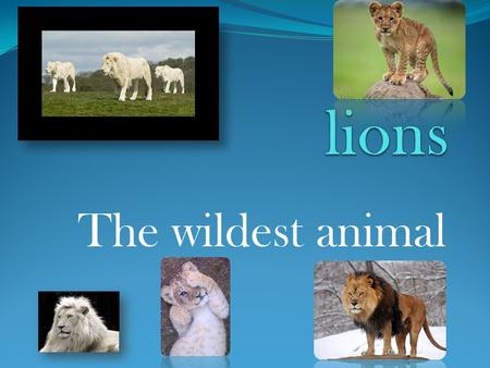 The wildest animal. table of contents DESCRIPTION Size DIET Enemies Interesting facts.