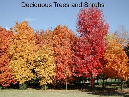 Deciduous Trees and Shrubs. Large trees Maples( Acer) Sugar Maple Silver Maple Red Maple.