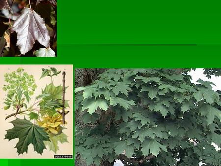 Norway maple Acer platanoides Norway maple (Acer platanoides)  45' tall x 30' wide  Deciduous  Helicopter seeds  Turns from green to yellow (fall.