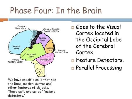 Phase Four: In the Brain  Goes to the Visual Cortex located in the Occipital Lobe of the Cerebral Cortex.  Feature Detectors.  Parallel Processing We.