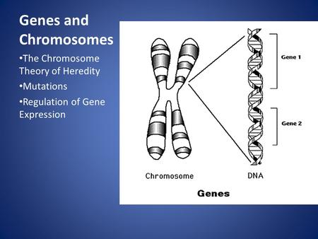 <strong>Genes</strong> <strong>and</strong> <strong>Chromosomes</strong> The <strong>Chromosome</strong> Theory of Heredity Mutations Regulation of <strong>Gene</strong> Expression.