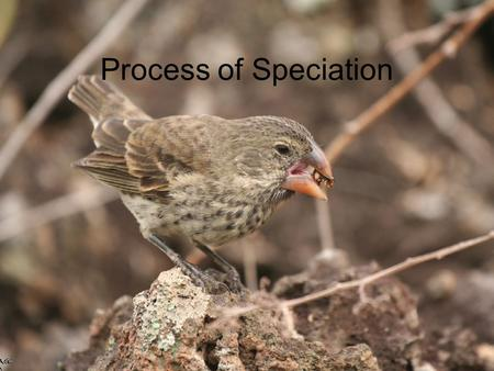 Process of Speciation. How do natural selection and genetic drift create new species? –Speciation – formation of new species –Species – group of organisms.