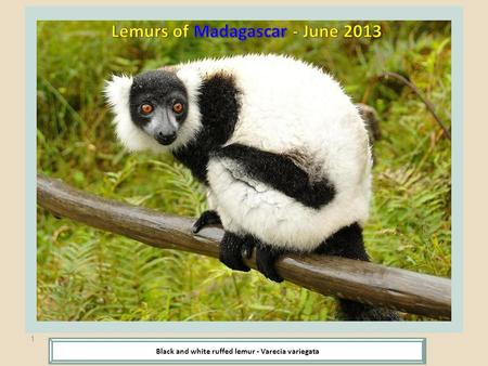 1 Black and white ruffed lemur - Varecia variegata.