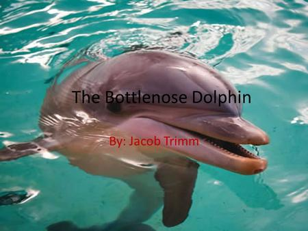 The Bottlenose Dolphin By: Jacob Trimm. Family/Class The Bottlenose Dolphin is the most well- known member of the family Delphinidae Recent studies show.