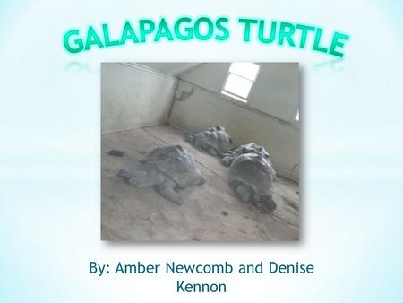 By: Amber Newcomb and Denise Kennon. o Also known as Geochelone Nigra o Located in the Galapagos Islands of Ecuador.