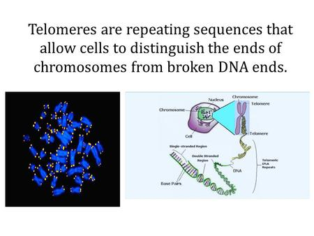 Telomeres are repeating sequences that allow cells to distinguish the ends of chromosomes from broken DNA ends.