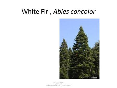 White Fir, Abies concolor Images from