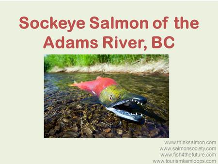 Sockeye Salmon of the Adams River, BC